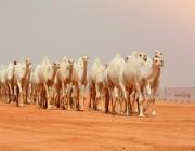 تنويه من إدارة مهرجان الملك عبدالعزيز للإبل بشأن جائزة الملك عبدالعزيز للمزايين