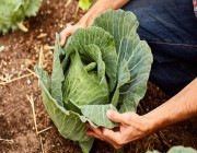 دراسة: نبات الكرنب يحميك من سرطان الأمعاء