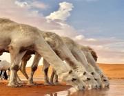في أجواء شتوية.. صورة لإبل في مشهد رائع بصحراء الزلفي