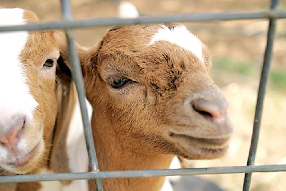 ادخر 85 ألف ريال لشراء أرض فأكلتها الماعز