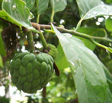 """تعرّف على الفوائد الصحية لشجرة """"القشطة"""" المذهلة"""